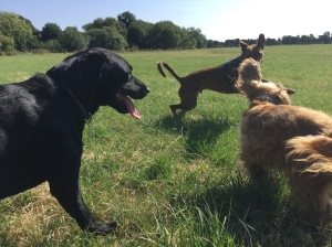 dog walking godmanchester