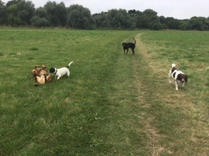 dog walking cambridgeshire