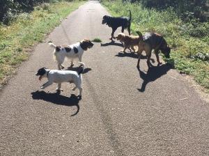 dog walking huntingdon