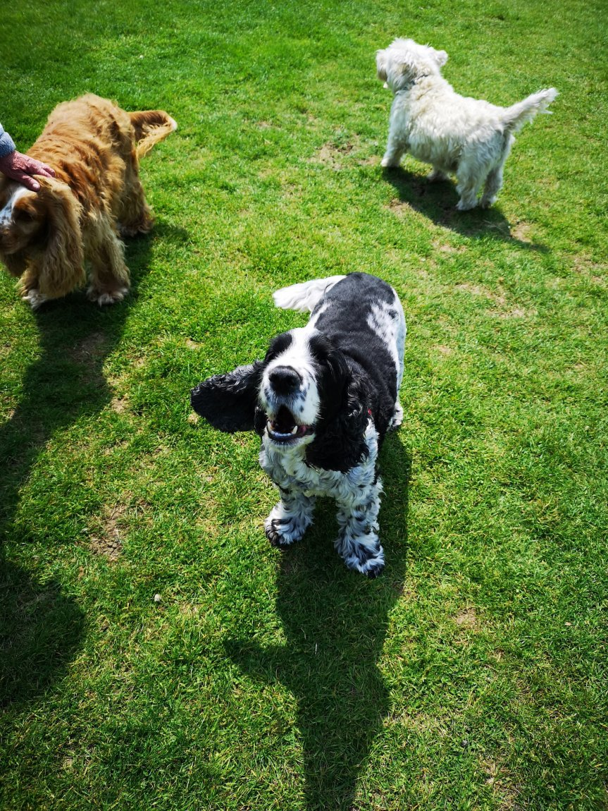Dog socialisation walks Huntingdon