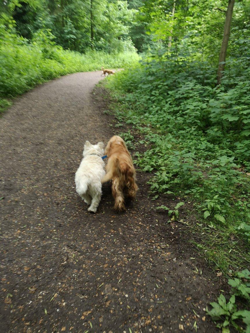 Dog socialisation walks in Huntingdon